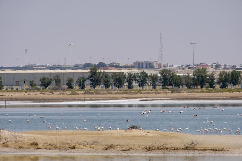 View of Great Flamingos at Al Wathba Wetland Reserve. Abu Dhabi, UAE stock photography