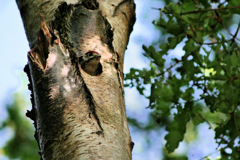 A view of a Great spotted woodpecker. On atree in Wood Lane Nature Reserve stock images