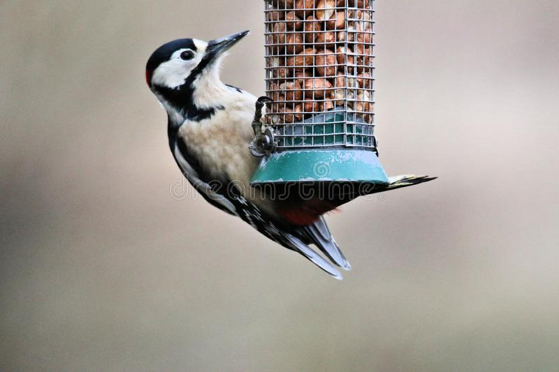 A view of a Great spotted woodpecker. On atree in Wood Lane Nature Reserve stock photo