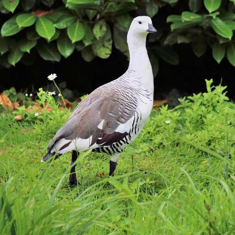 A view of a Greater Magellan Goose stock photo