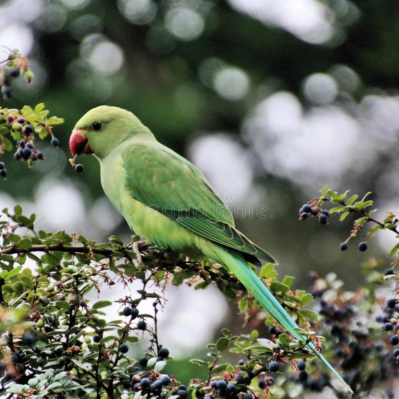 A view of a Green Parakeet. In a park in London stock images