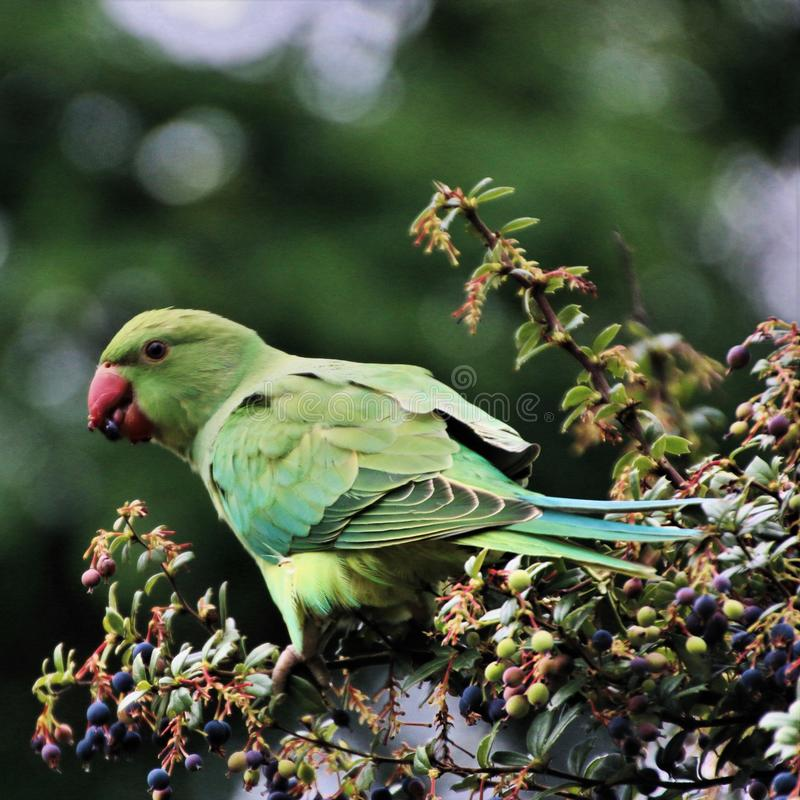 A view of a Green Parakeet. In a park in London royalty free stock photos