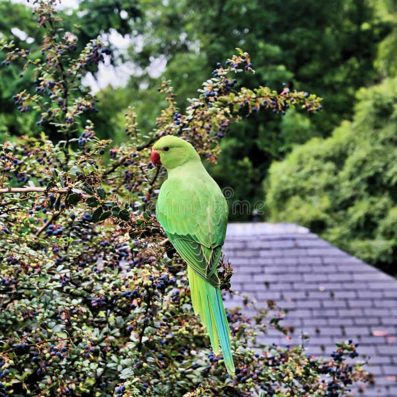 A view of a Green Parakeet. In a park in London stock photography