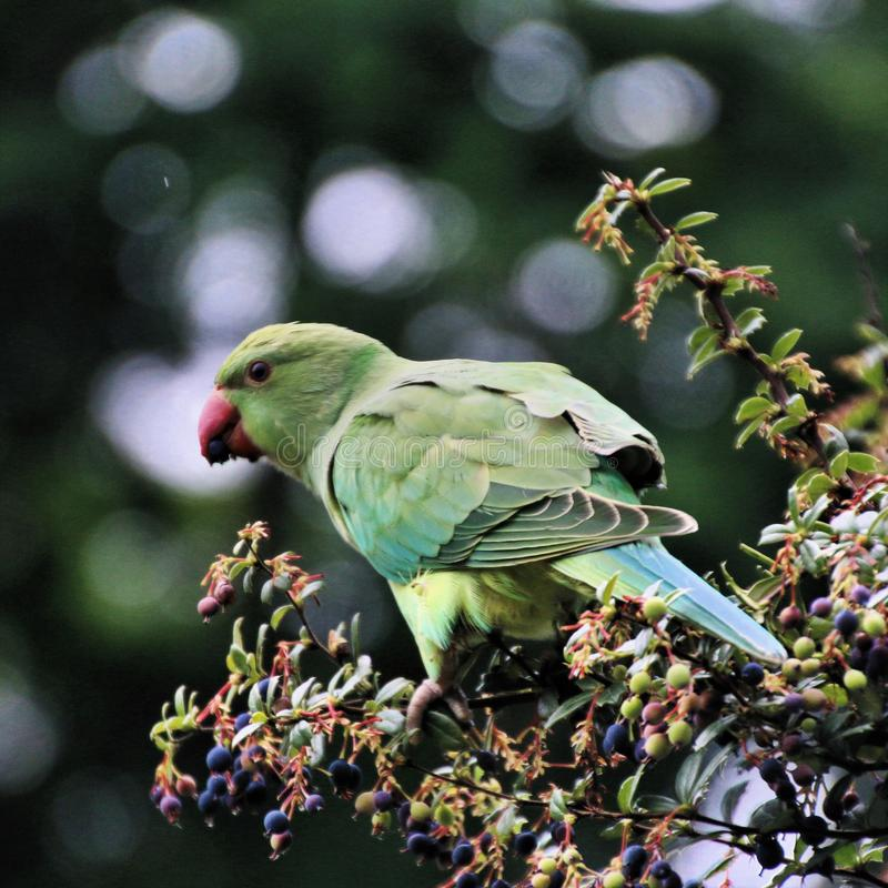 A view of a Green Parakeet. In a park in London stock photos