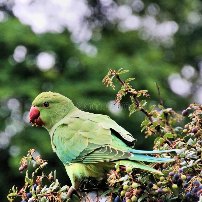 A view of a Green Parakeet. In a park in London royalty free stock images