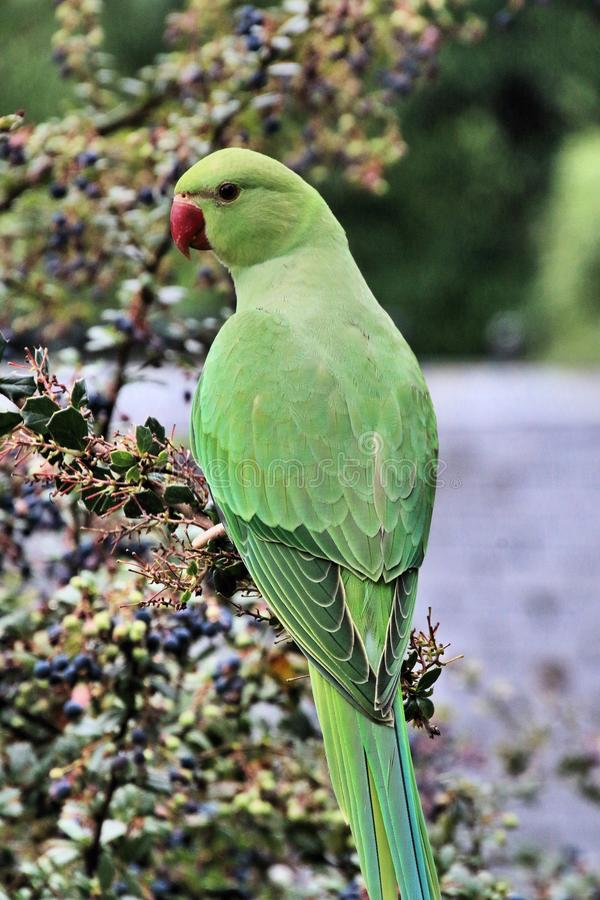 A view of a Green Parakeet. In a park in London royalty free stock image