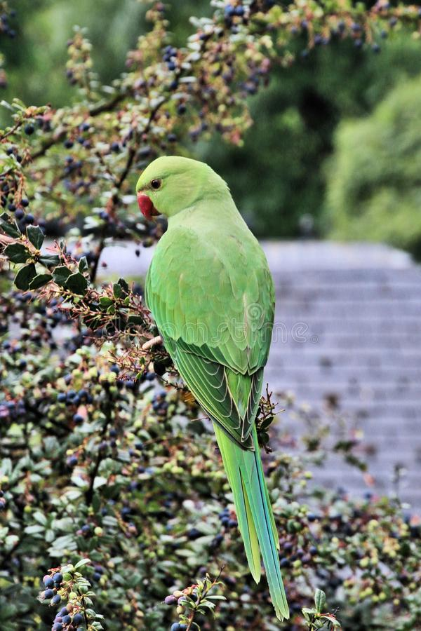 A view of a Green Parakeet. In a park in London royalty free stock photo