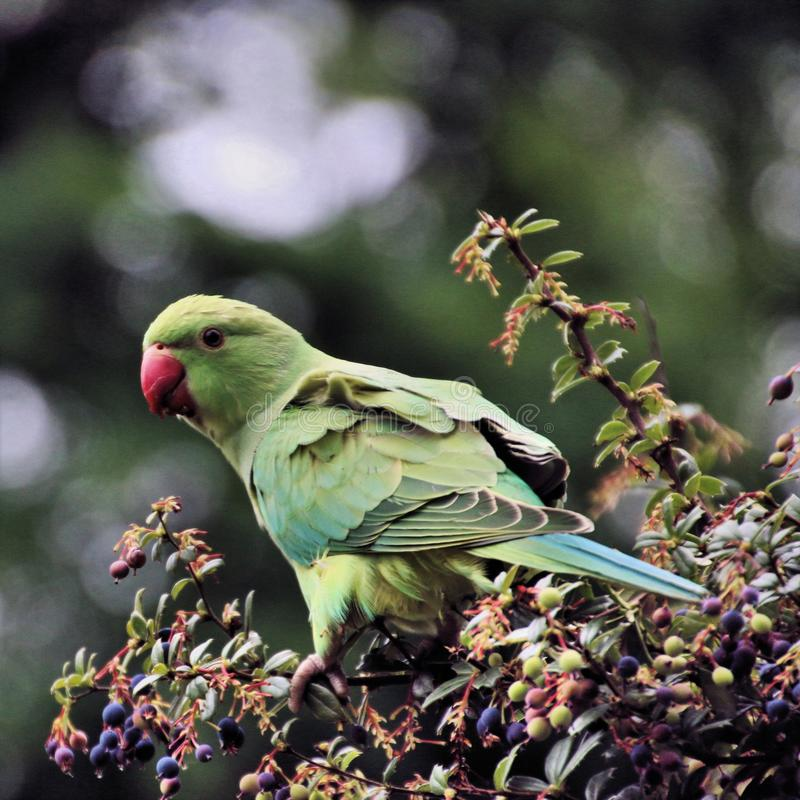 A view of a Green Parakeet. In a park in London stock image