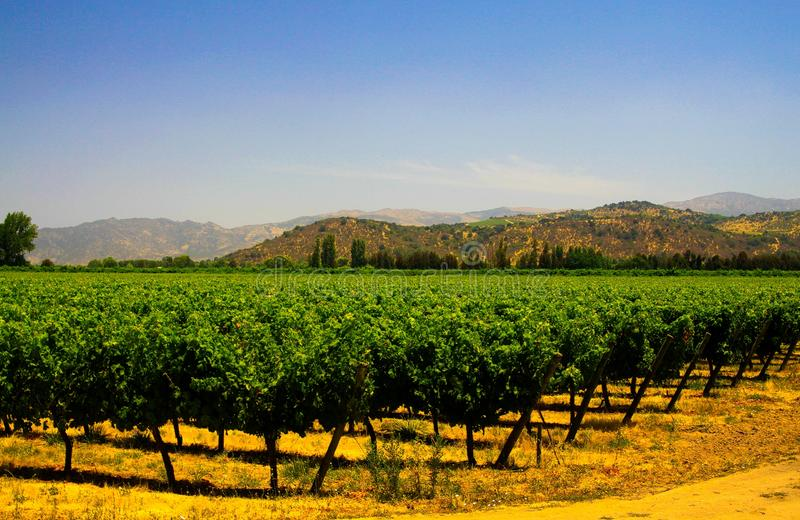 View on green vineyard contrasting with yellow orange color ground and hills against blue sky background in valley. Central Chile royalty free stock photos
