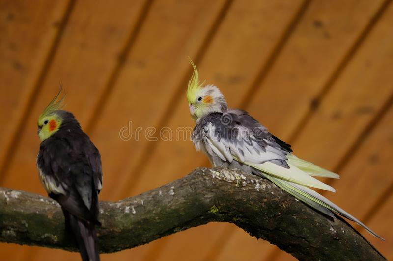 View of grey-yellow male cockatiel parrots stock photo
