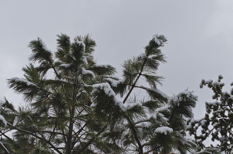 The tops of the pine trees in the winter storm royalty free stock images