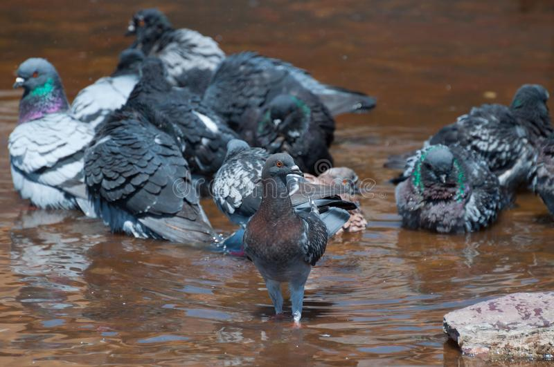Group of doves cooling down in a rusty water fountain and one looking at the camera stock image