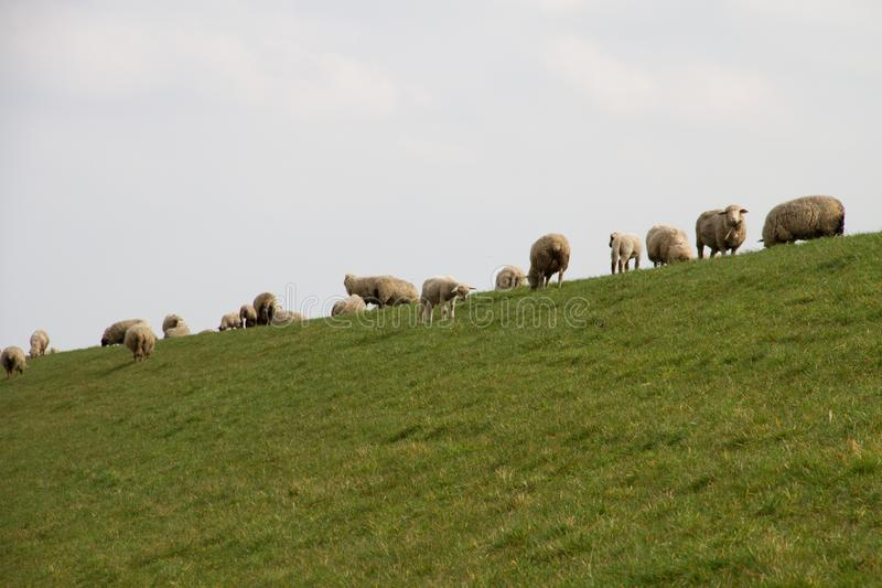 View on group of sheeps standing on a grass area under a cloudy sky in rhede emsland germany. And photographed in multi colored on a walk in the landscape at a stock photography