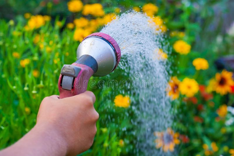 View on a hand with a sprinkler, watering the yellow flowers in the green garden stock photo