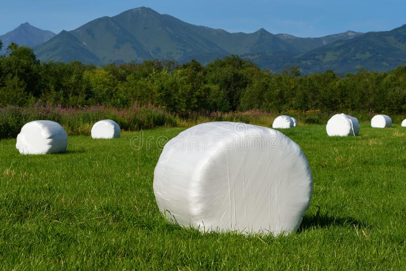 View of haystack packed in white pulp packaging and ready for transportation from mown field. Countryside landscape, view of haystack packed in white pulp stock photography