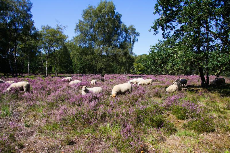 View on herd of sheep grazing in glade of dutch forest  heathland with purple blooming heather erica plants Ericaceae stock images
