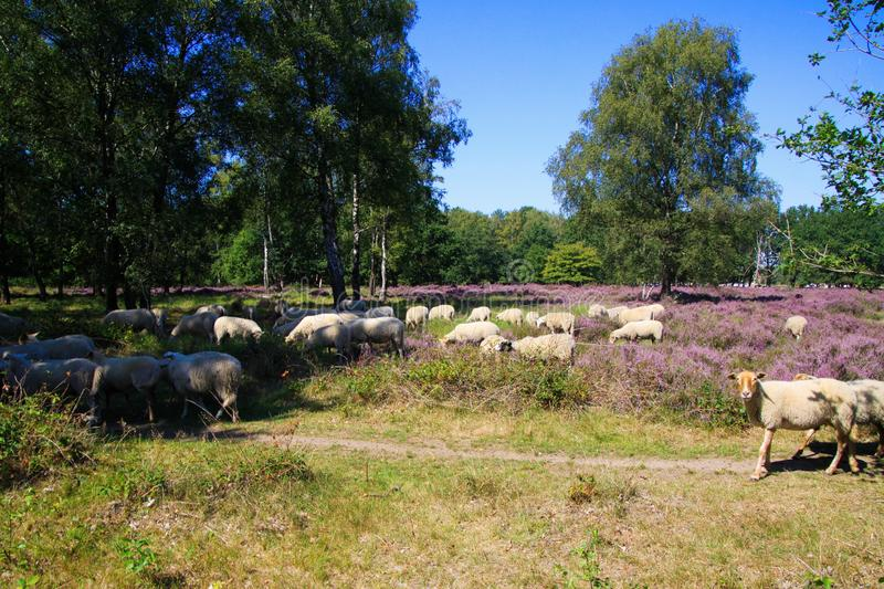 View on herd of sheep grazing in glade of dutch forest  heathland with purple blooming heather erica plants Ericaceae royalty free stock photography