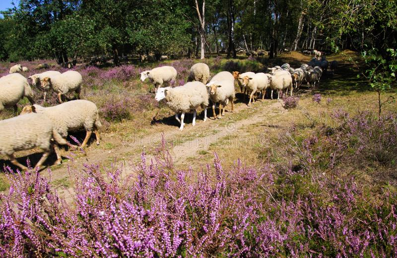 View on herd of sheep grazing in glade of dutch forest  heathland with purple blooming heather erica plants Ericaceae royalty free stock photos