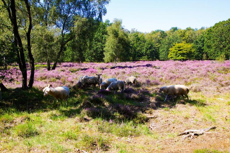View on herd of sheep grazing in shade of trees in glade of dutch forest  heathland with purple blooming heather erica plants stock photography