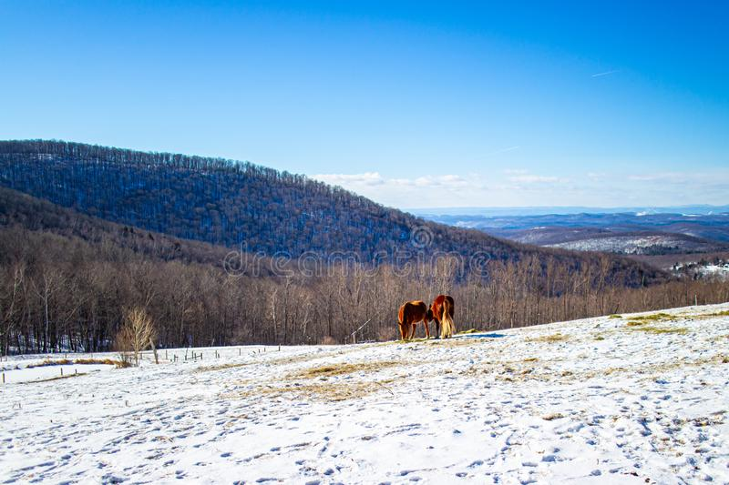 View of horses grazing in snow-covered pasture in Vermont royalty free stock photos