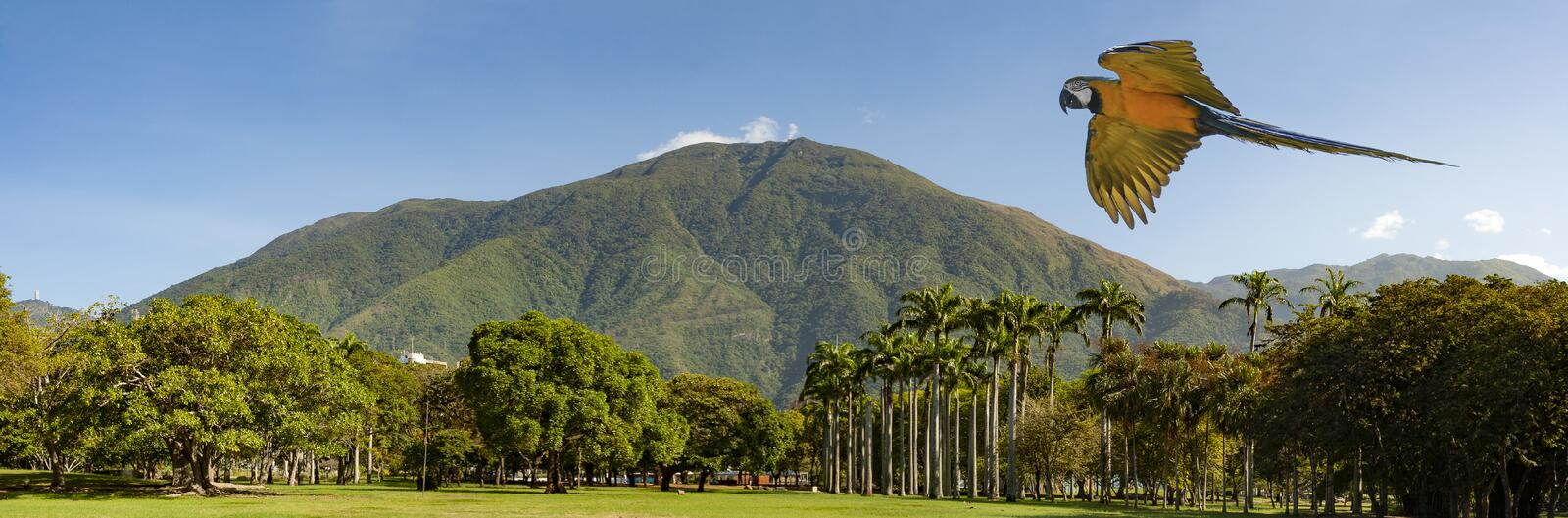 View of the iconic Caracas mountain el Avila or Waraira Repano and flying macaw.  royalty free stock photography