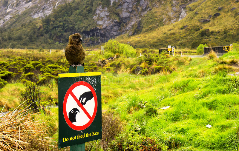 View of Kea from the road to Milford Sound. Landscape on the Road to Milford Sound, South Island, New Zealand royalty free stock photo