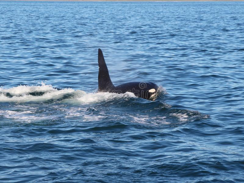 View of killer whale above water near Kamchatka Peninsula, Russia. stock photo