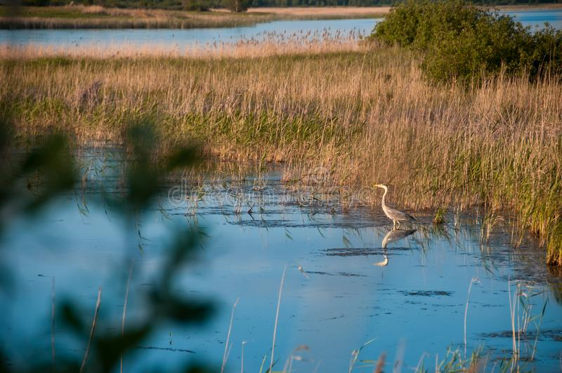View of the lake with gray herons stock photos