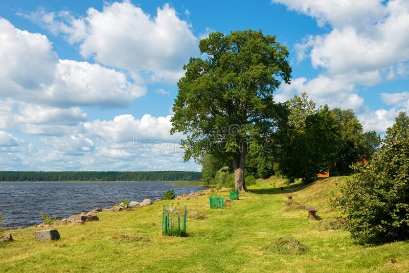 Big oak on the lake Seliger. View of Lake Seliger on a summer day stock photography