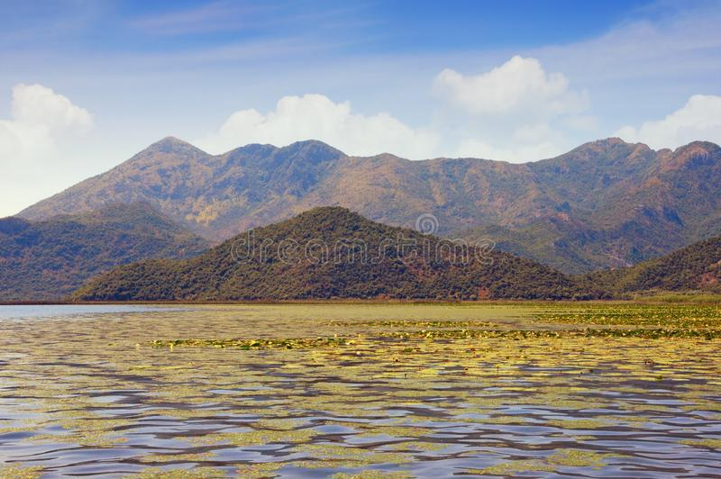 View of Lake Skadar.  Field of water lilies. Montenegro. View of Lake Skadar - the largest lake in the Balkans. Field of water lilies.  Montenegro royalty free stock photography