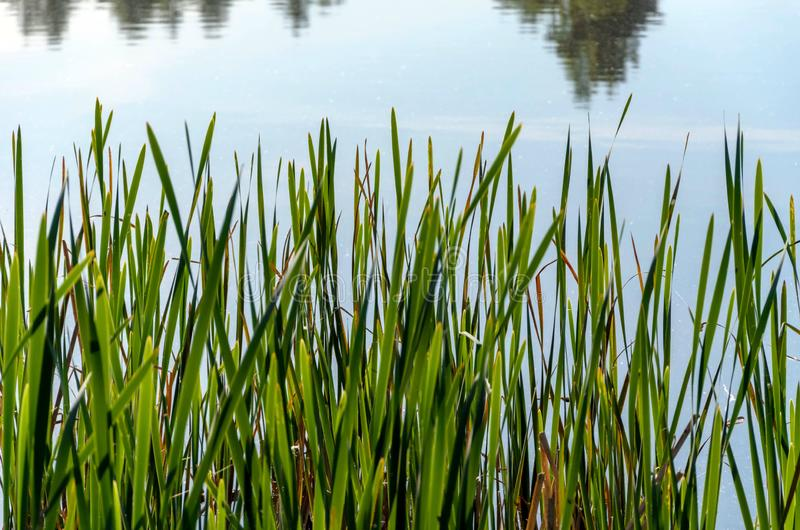 View of the lake through the wall of green reed leaves royalty free stock images