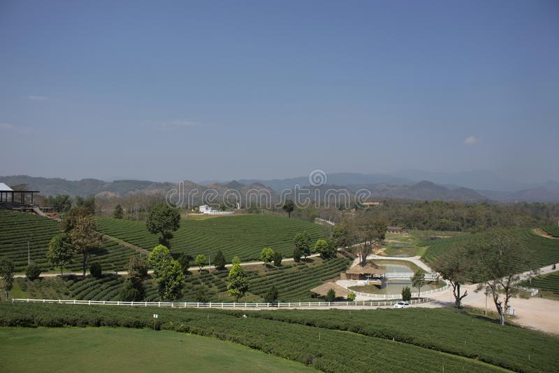 Landscape of Choui Fong Tea plantations area of over 1,000 rais in Doi Mae Salong high Mountain in Maechan of Chiang Rai, Thailand. View landscape of Choui Fong royalty free stock images