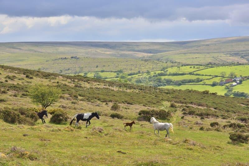 Moorland Landscape with Dartmoor Ponies. View of landscape within Dartmoor National Park, Devon, England showing group of Dartmoor ponies running across moor royalty free stock photography