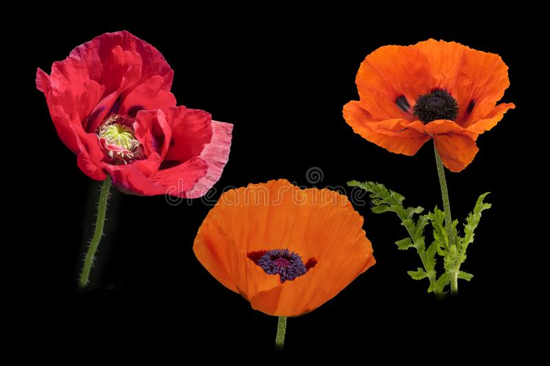Poppies galore. View of Large poppies in full bloom on a black background stock images