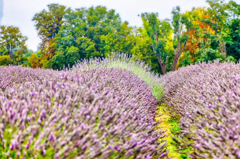 View of Lavender at the Mayfield Lavender farm stock photography