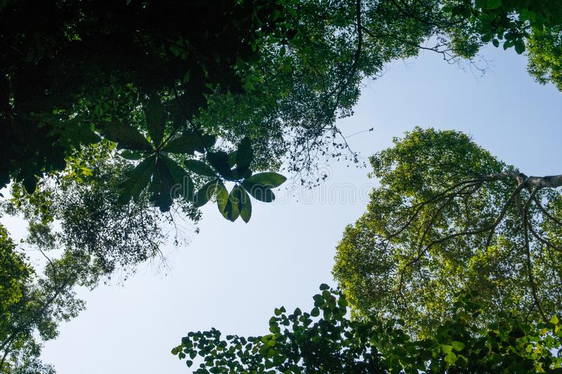 View of leaves in rainforest from below. View of branch from below with big leaves, rainforst vegetation in malaysia royalty free stock photo