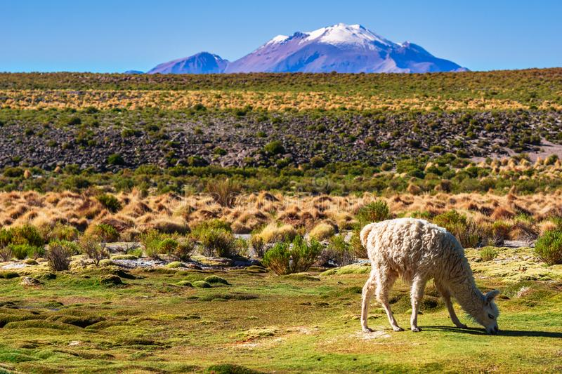 Llama in the mountain landscape of the Altiplano in Bolivia. View on Llama in the mountain landscape of the Altiplano in Bolivia royalty free stock photography