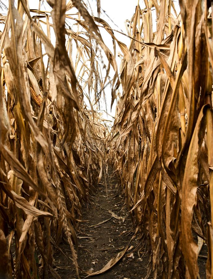 A WALK THROUGH A RIPENED CORN FIELD. A view of the lonely and creepy walk through a dry cornfield. The leaves rustle leaving the Walker feeling lost and utterly stock photography