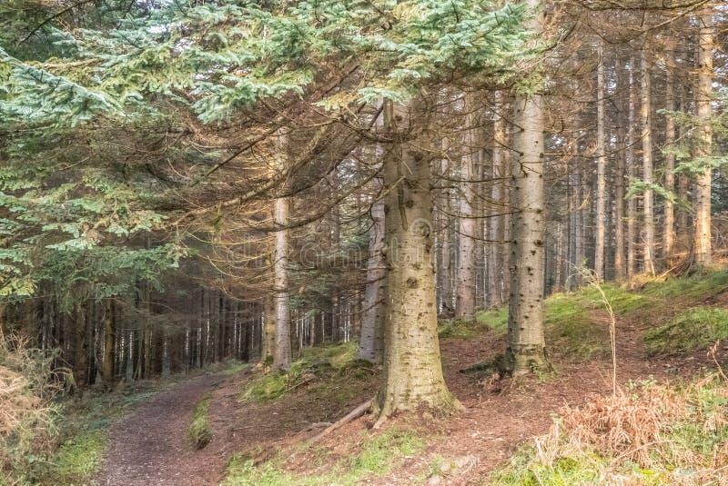 A Fir Forest in Ireland stock photo
