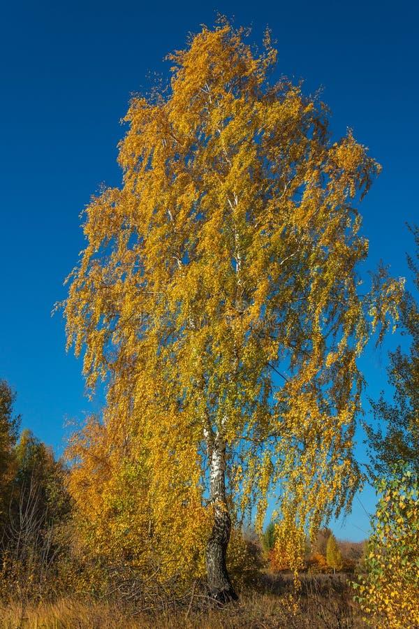 Golden birch stock photo