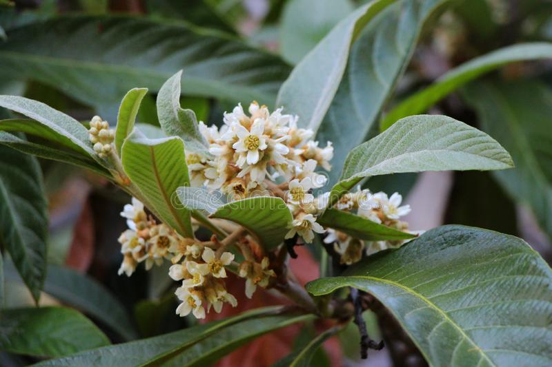 View of loquat flowers. stock photo