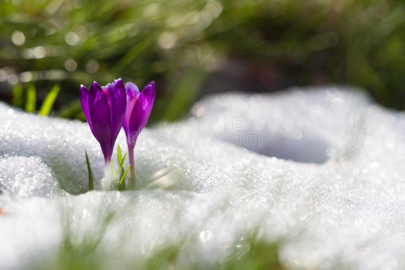 View of magic blooming spring flowers crocus growing from snow in wildlife. Amazing sunlight on spring flower crocus.  royalty free stock photo