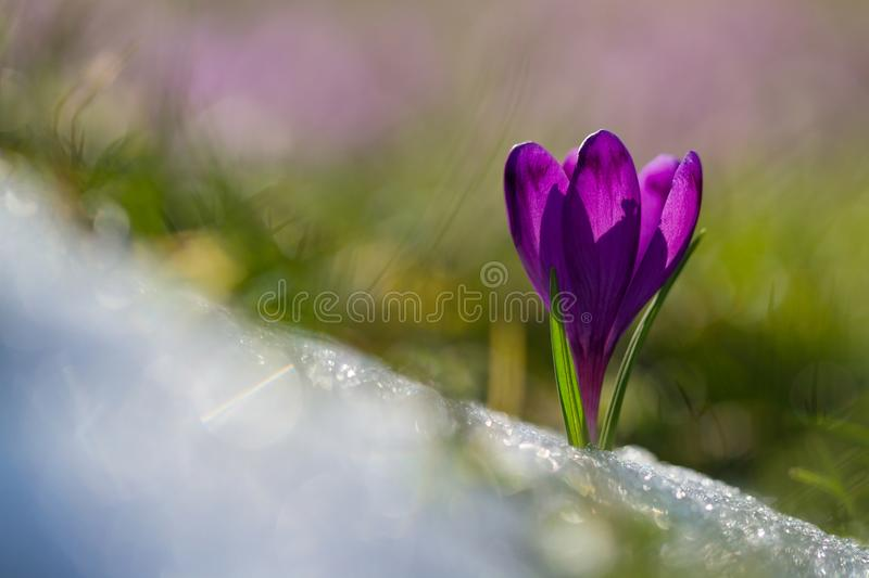 View of magic blooming spring flowers crocus growing from snow in wildlife. Amazing sunlight on spring flower crocus.  stock photo
