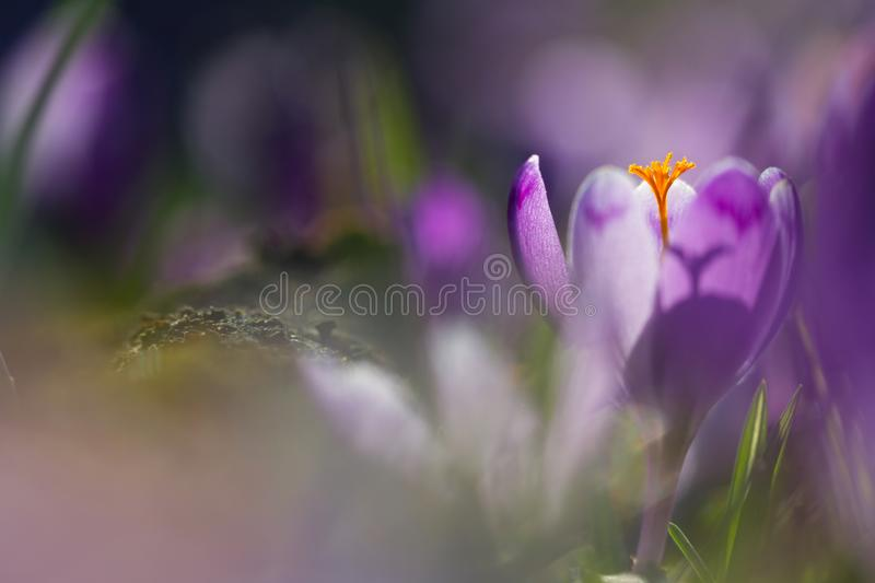 View of magic blooming spring flowers crocus growing in wildlife. Amazing sunlight on spring flower crocus.  royalty free stock photos