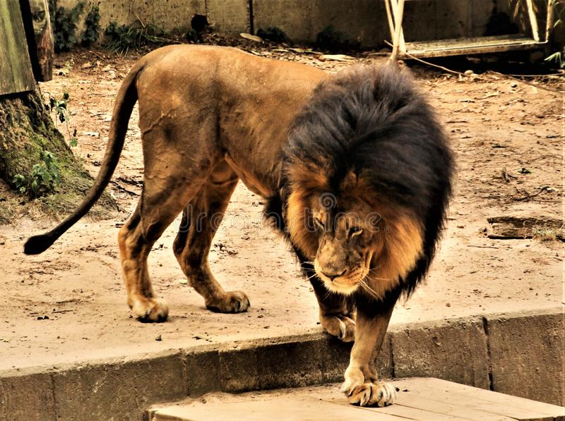 A view of a Male African Lion. In Canada royalty free stock photo