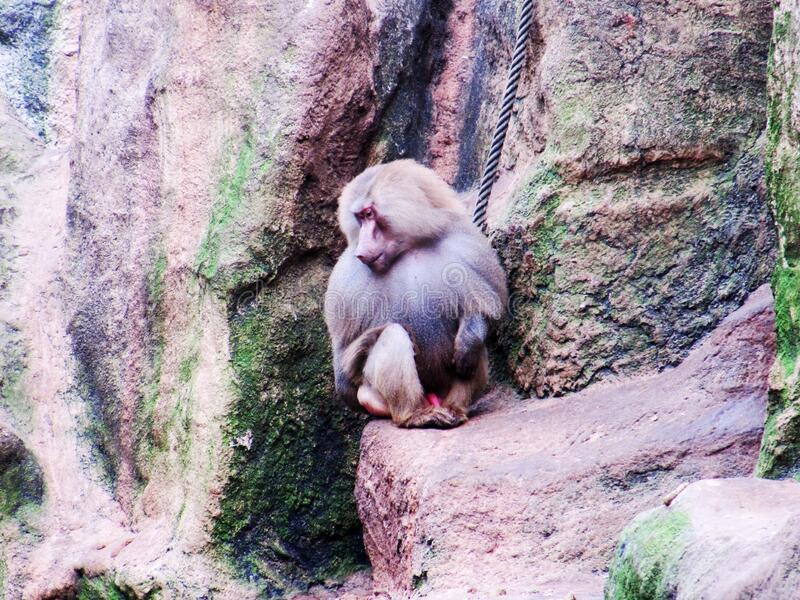 Male sacred Baboon, Papio hamadryas, sitting on a ledge. A view from a Male sacred Baboon, Papio hamadryas, sitting on a ledge royalty free stock photography