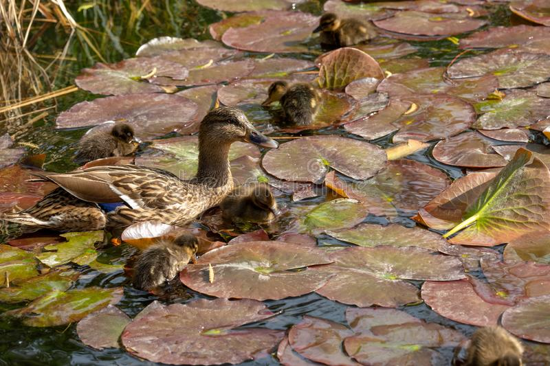 A mallard duck with his ducklings. View of a mallard duck with his ducklings royalty free stock photo
