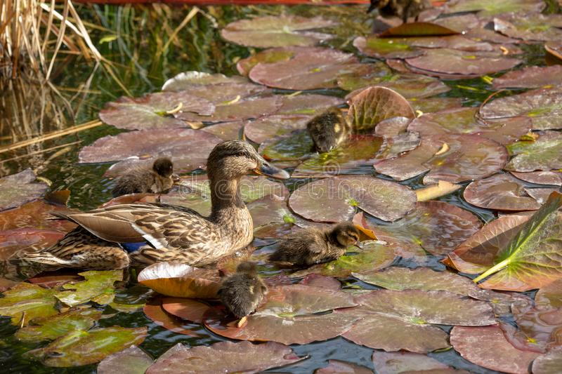 A mallard duck with his ducklings. View of a mallard duck with his ducklings stock photos