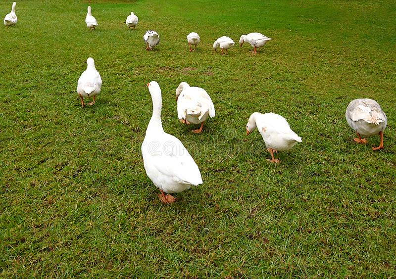 Ducks walking in a raw stock image