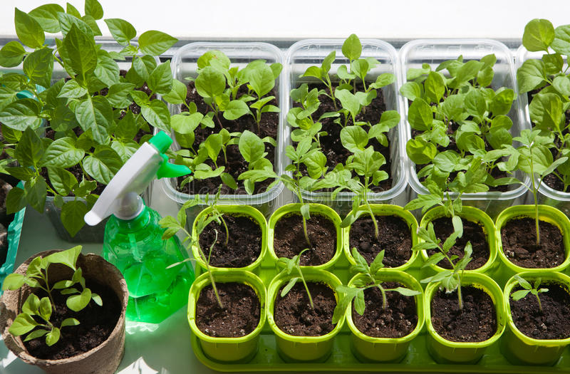 View of the many pots with seedlings stock photography